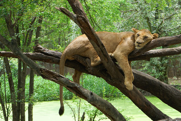 A lion is sleeping on the tree
