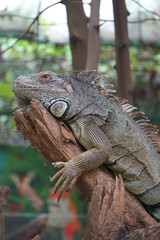 iguana is resting on the branch