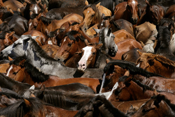 "Wild horses are seen gathered during the ""Rapa das Bestas"" traditional event in the village of Sabucedo"
