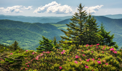 Roan Mountain State Park Carvers Gap rhododendron blooming