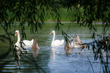 swans on the lake in the open air