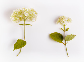 Set of white Hydrangea flower isolated on white. Botany concept, overhead top view, flat lay. Wedding, Birthday, Mother's, Valentines, Women's Day concept. Latvia, Northern Europe