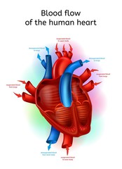 Blood Flow In Human Heart Realistic Vector Scheme