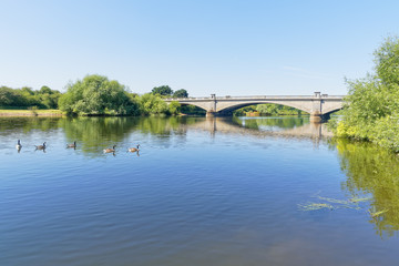 Canada Geese paddling across the River Trent at Gunthorpe