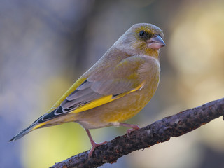 Male European greenfinch (Chloris chloris) in the forest