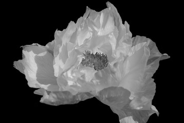Tree-like peony, tree-shaped white peony in the garden, peony petals close-up, on  black background. Black and white photo.