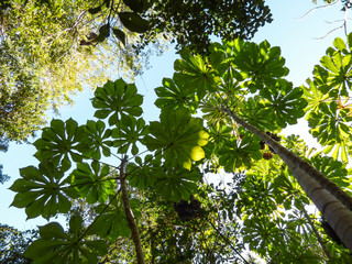 Cecropia trees viewed from below - Florianopolis, Brazil