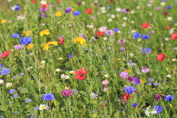Fototapeta Detail of colorful wildflower meadow in summertime