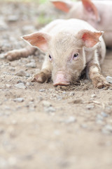 New born pig or cute on a farm.