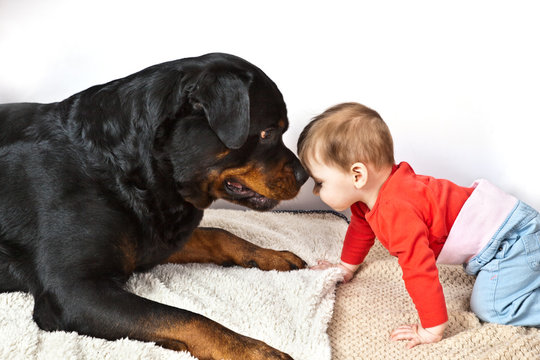 Little boy dressed in red costume playing with a big black dog breed Rottweiler