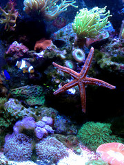 Aluminium Prints Under water Fromia seastar in coral reef aquarium tank is one of the most amazing living decorations