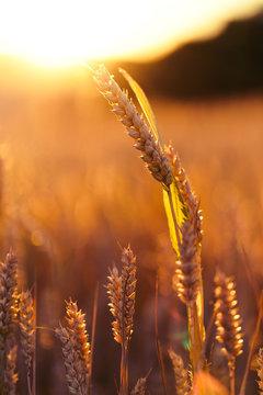 Getreide in der Abendsonne