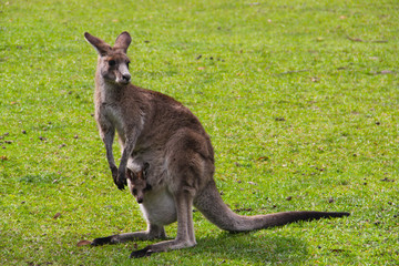 Kangoroo Wildlife Australia Wallaby
