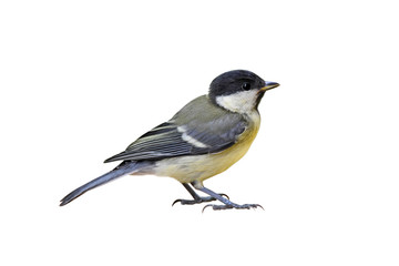 Great tit (Parus major), young, isolated on white background