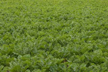 Sugar beet or root vegetable crop