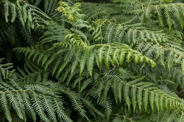 Bracken fronds unfurling in summer growth