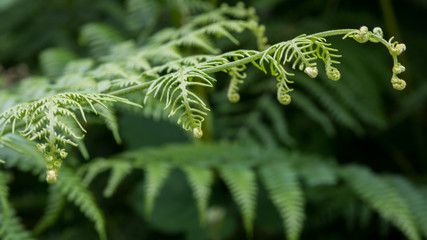 Bracken fronds unfurling in summer growth