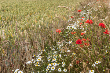 Wild flowers and wheat field in summer