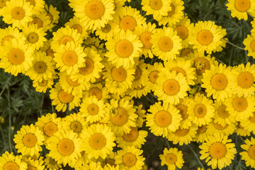Yellow daisies, summer flowers