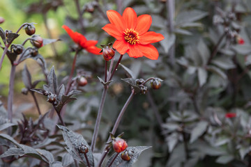 Orange dahlia with black leaves