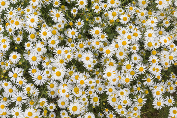 Chamomile or daisy flowers