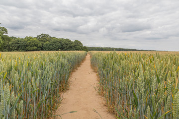 Footpath field of wheat