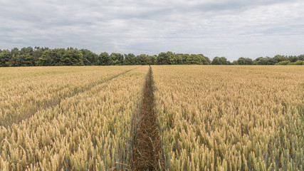 A field of wheat with tractor lines