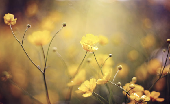 Background with yellow  wildflowers of a buttercup