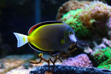 Powder brown tang in coral reef aquarium