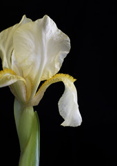 Close-up of Iris and Petal.