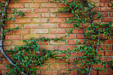 Old red brick wall texture and green leaf hanging down on it at the edge. Copy space background....