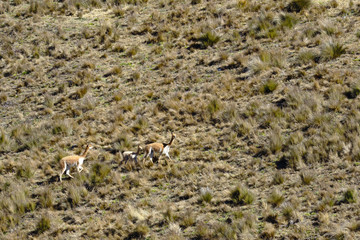 Vicuña (Vicugna vicugna) walking during the day for its extensive areas full of pastures in the Andes.