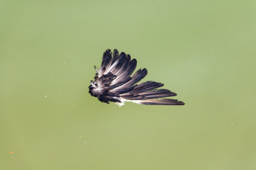 Bird feathers float on the green water in the canal.