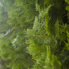 background with cypress (vertically)