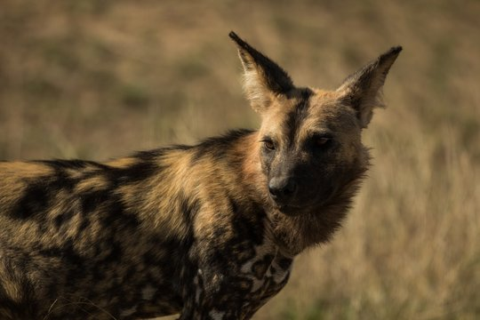 Close-up of african wild dog in grassland