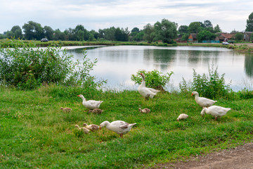 Geese graze grass on the pond bank
