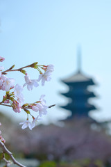 Cherry blossom tree in bloom in the spring of Japan.