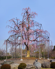 Weeping willow tree and cherry tree in bloom of Toji a kyoto temple in Japan.