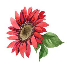 Red sunflower. Floral botanical flower. Isolated illustration element. Aquarelle wildflower for background, texture, wrapper pattern, frame or border.