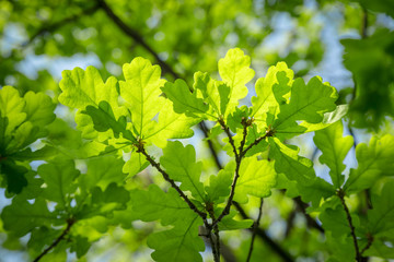 Branch of young solar green oak leaf on a background of foliage and blue sky.