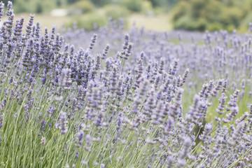 Mix of Lavender bushes