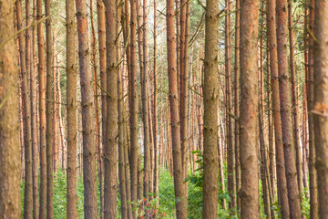 trunks of pines in a dense forest, background