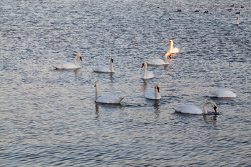 Swans on the lake with sunset light