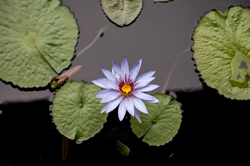 Blue star water lily Nymphaea nouchali flower