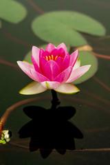 Lotus, lotus, lotus leaf,