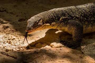 Varanus salvator, commonly known as the water monitor or common water monitor, is a large lizard native to South and Southeast Asia. Recent studies have shown venom glands are likely to be present in