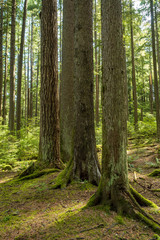 a group of tall trees lined up together in the forest