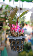 Orchid plant was hanging in pot