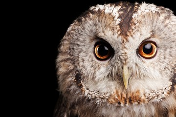 Owl's Head Close-Up