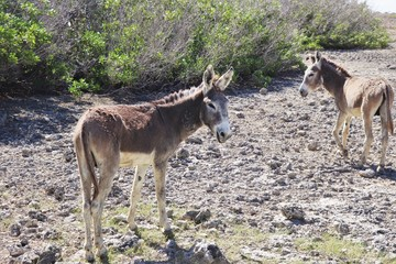Wild donkey on the side of the road in the island of Bonaire